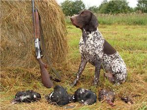 Породи мисливських собак: курцхаар