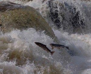 Процес нересту у лосося - кілька дивовижних фактів