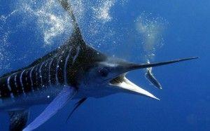 Найшвидша риба в світі Вітрильник