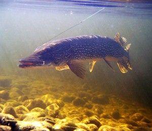 Найшвидша риба в світі щука