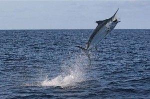 Найшвидша риба в світі марліни