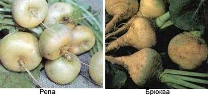 Ріпа і бруква