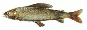 Риба харіус