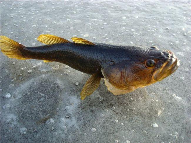 Ротан на люду - зимова риболовля вдалася.