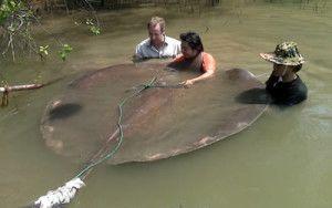 Найбільша прісноводна риба в світі водиться в таїланді
