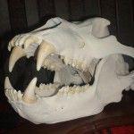 Череп камчатського ведмедя