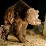 Печерний ведмідь (реконструкція в музеї)