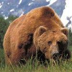 Ведмідь на Алясці