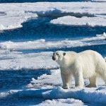 Полярний ведмідь у острова Шпіцбергена
