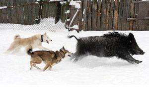 собаки женуться за кабаном