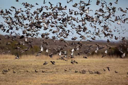 зграя голубів