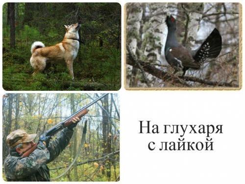 Полювання з лайкою