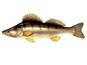 Судак - скільки користі в цій рибі