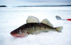 Судак риба користь і шкода застосування в косметології