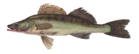 Судак - види риб