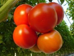 Томат (помідор)
