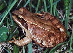 Трав`яна жаба