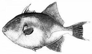 Трофеї та рекорди грудневої риболовлі IGFA фото спинорог
