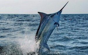 Трофеї та рекорди грудневої риболовлі IGFA риба марлин