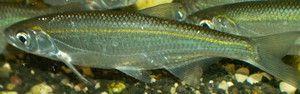 Уклейка, опис риби і її ловля, фото особин