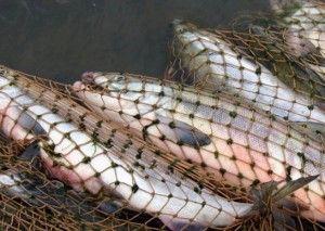 У липецьку вводять заборону на ловлю риби на зимувальних ямах