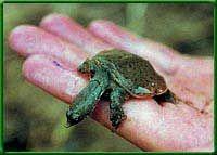 за черепахою