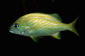 Риби, що видають рохкання і скрип в разі небезпеки незвичайні звуки