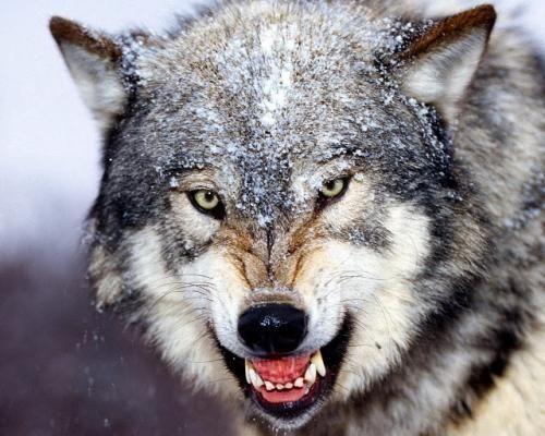 Вовк - все про самому скоєному мисливця тваринного світу і як його зловити