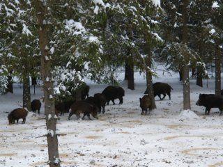 Кабани - дичину для загородного полювання