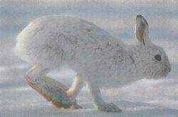 Заєць-біляк