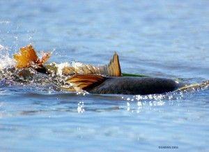 Життя коропа під час нересту - яке місце проживання за краще ця риба